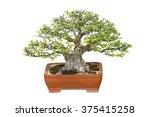 Miniature Tree  Bonsai ...