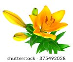 Yellow Lily Flower With Buds...