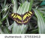 Butterfly Near Poas Volcano ...