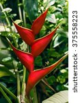 Erect Heliconia Crab Lobster...