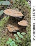 Bracket Fungus Ganoderma...