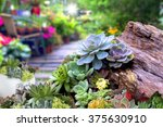 Succulent Plants In A Garden.
