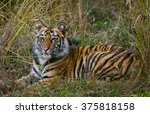 the cub wild tiger lying on the ... | Shutterstock . vector #375818158