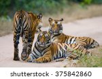 group of wild tigers on the...   Shutterstock . vector #375842860