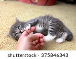 Stock photo kitten eating human finger 375846343