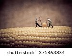Corn Maize Harvest. Color Tone...