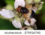 Small photo of Pellucid fly (Volucella pellucens). One of Britain's heaviest flies, this hoverfly in the family Syrphidae develops in the nests of aculeate hymenoptera