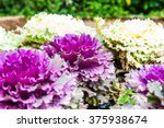 Purple Decorative Cabbage With...