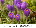 crocus buds flowering | Shutterstock . vector #376008316