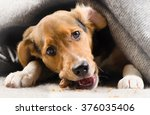 Stock photo cute puppy peeking out from under warm blanket selective focus 376035406