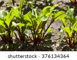 young sprouts of red beetroot ...   Shutterstock . vector #376134364