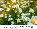 Wild Chamomile Flowers On A...
