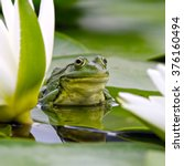 Marsh Frog Sits On A Green Lea...