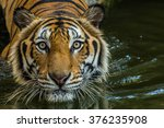 Bengal Tiger Swimming Show Hea...