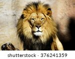 Stock photo lion 376241359
