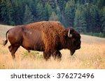 American Bison Buffalo Side...
