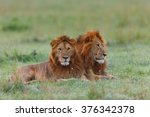 Two Lion Brothers In Masai Mar...