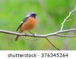 phoenicurus auroreus   Shutterstock . vector #376345264