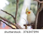 Cute White Cockatiel