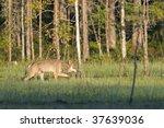 Wild wolf in the Finnish woods - stock photo