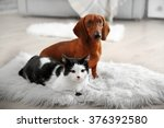 Stock photo beautiful cat and dachshund dog on rug indoor 376392580