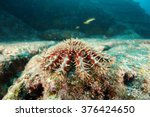 Small photo of Acanthaster underwater