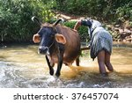 Farmer Working To Clean Cow In...