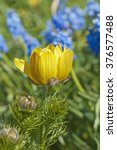 Small photo of Yellow flowers Pheasant's eye (Adonis vernalis) outdoors.