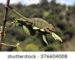 Small photo of African Chameleon in the Samburu National Park. Kenya