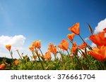 Poppy Flowers In The Blue Sky.