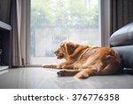 Golden Retriever Dog Lying On...