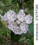 Mountain Laurel In Cherokee  Nc