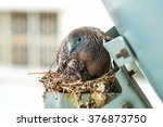 Nesting Mourning Dove Bird Wit...