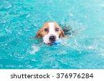 cute little beagle dog swimming ... | Shutterstock . vector #376976284