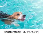 young beagle dog swimming in... | Shutterstock . vector #376976344