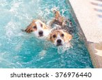 Two Cute Beagle Dog Swimming...