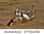 Small photo of African wild ass rolling around
