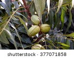 Young Pecan Nuts Growing On Tree