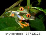 Red Eyed Tree Frogs Mating At...
