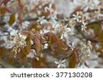 Small photo of Flowering Amelanchier laevis in Dwingelderveld, Netherlands