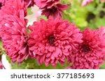 Flowers  Flowers  Chrysanthemum ...