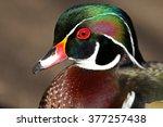 Wood Duck Head Portrait  Male...