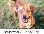 Chihuahua Mixed Tan Dog Smilin...