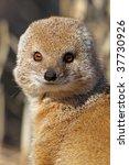 Yellow mongoose potrait - stock photo
