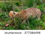 close up of a cheetah eating... | Shutterstock . vector #377386498