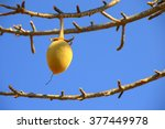 the fruits of the baobab. | Shutterstock . vector #377449978