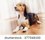 beagle puppy at home. selective ... | Shutterstock . vector #377568100