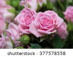 Stock photo pink roses in the garden 377578558