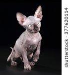 little kitten the canadian... | Shutterstock . vector #377620114