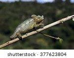 Small photo of African Chameleon in the Samburu National Park. Kenya, Africa.